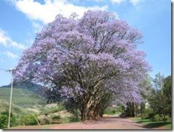 Jacaranda in Africa