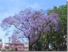 Jacaranda in Argentina