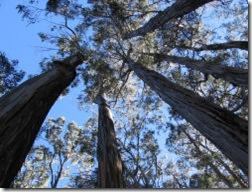 eucalyptus3