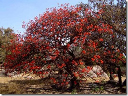 Coral tree