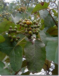 Wanza fruit
