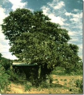 Wanza tree