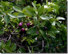 waterberry fruit
