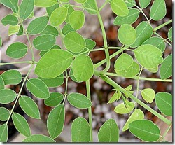 moringa tree leaves