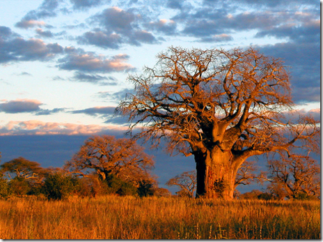 The baobabs of Tarangire National Park
