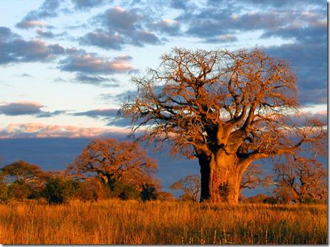 The baobabs of Tarangire National Park